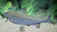 Pesca, è l'ora dei «pregiati»: riparte l'operazione coregone