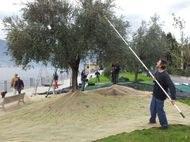 Dervio: sul lungolago la raccolta delle olive