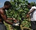 La vendemmia 2011? Multietnica! Immigrati di 53 nazioni nelle campagne italiane