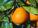 "Le arance ""Made in Sicily"" in vetrina a Hong Kong"